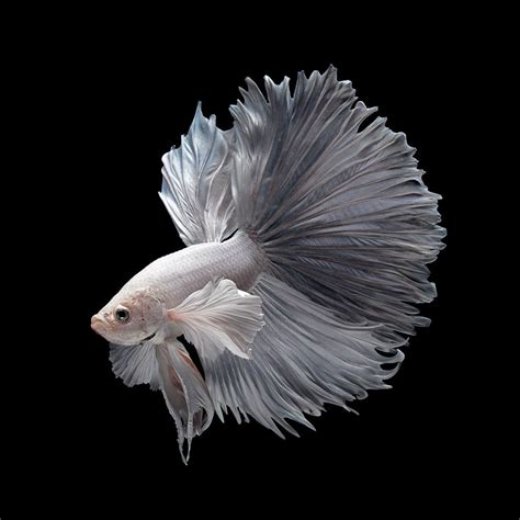 apple wallpaper betta fish iphone 6s fish wallpapers wallpapersafari