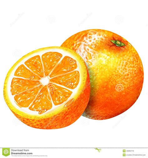 watercolor of oranges stock illustration image 43284119