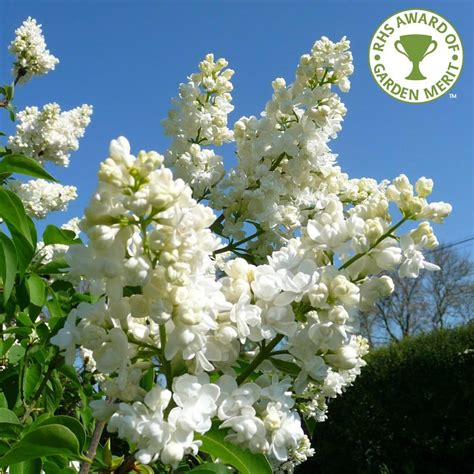 lilac tree syringa vulgaris madame lemoine buy white lilac trees
