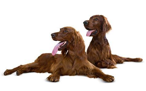 irish setter breed information irish setter dogs breed information omlet