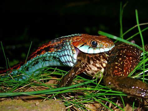 Garter Snake Frog San Francisco Garter Snake Thamnophis Sirtalis Tetrataeni