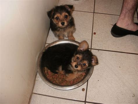chihuahua yorkie puppy chihuahua cross terrier boys bradford west pets4homes