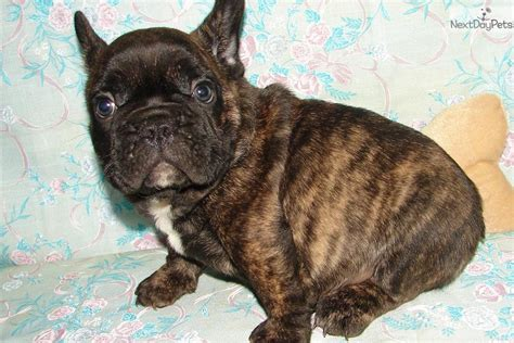 bulldog puppies for sale tulsa akc brindle boy available breeds picture