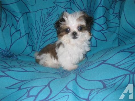 micro teacup shih tzu for sale beautiful micro teacup shih tzu puppy 11 weeks for sale in phelan