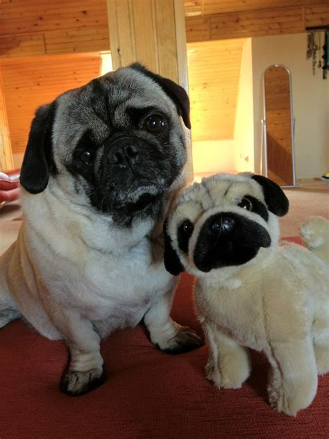 pugs favorite toys 1000 ideas about pug on teacup dogs for sale pugs and shar pei puppies
