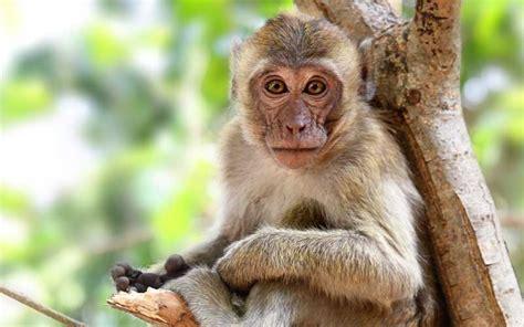 imagenes comicas de monos anatom 237 a de los monos informaci 243 n y caracter 237 sticas de