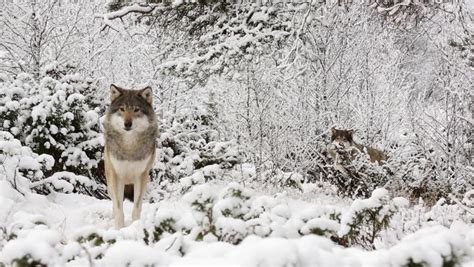 hd trailcam pictures of wolves in winter arctic wolf pack in snowy landscape looking into canis lupus arctos canon 5d ii
