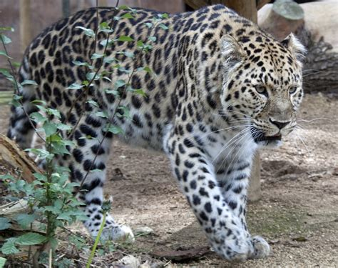 leopard 6 litre the endangered species i did my report over is the amur l