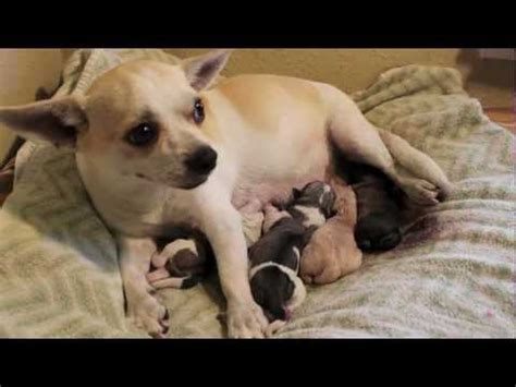 pug giving birth chihuahua gives birth to a beautiful puppy boy funnydog tv