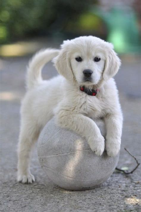 white golden retriever names best 25 golden retriever names ideas on puppy names a puppy