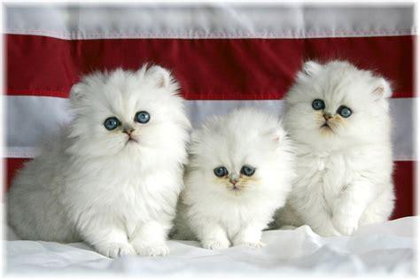 wallpaper of cat family three white cat family okay wallpaper
