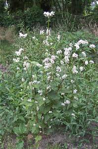 file fagopyrum esculentum plant boekweit plant jpg