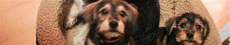 yorkie adoption toronto yorkie rescue toronto breeds picture