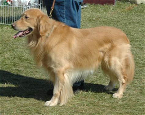 how smart are golden retrievers golden retriever smart natured and eager to the golden breeds picture