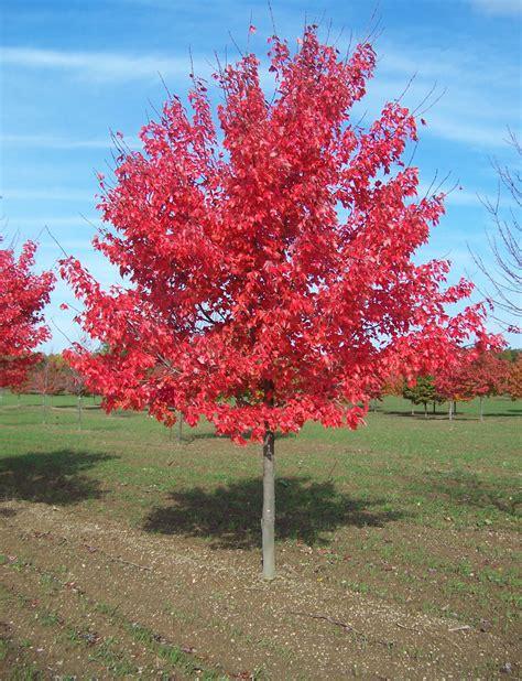 maple tree value sunset maple fort wayne trees