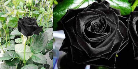 wallpaper bunga rose hitam macam macam mawar beserta maknanya