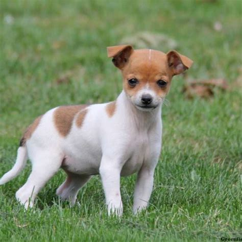 rat terrier mix puppies rat terrier mix puppies for sale in de md ny nj philly dc and baltimore