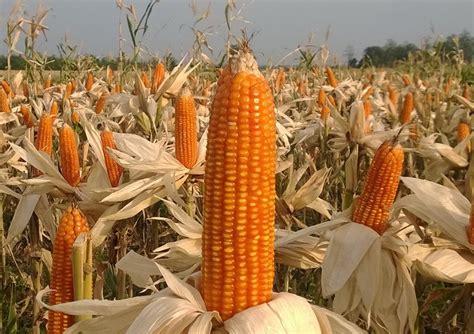 bima  uri jagung unggulan  depan jitunewscom