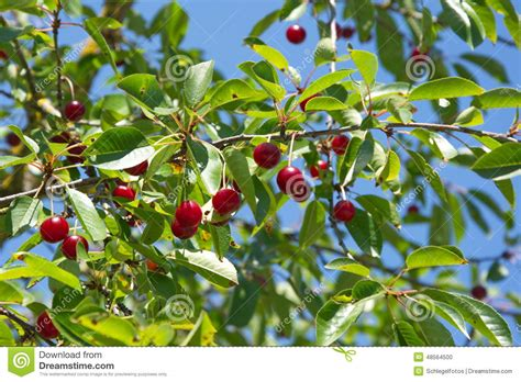 cherry tree in summer nature stock photo image 48564500