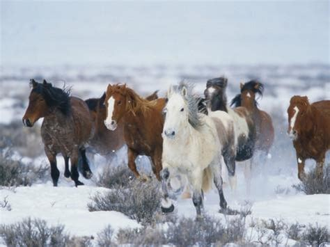 Photographic Wall Murals wild horses in snow photographic print by jeff vanuga at