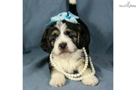 pug puppies for sale tulsa ok pugapoo puppy for sale near tulsa oklahoma 962d9d6a b0d1