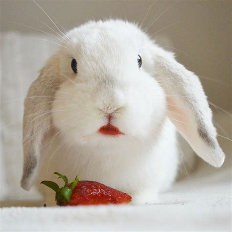 rabbits eat strawberries    careful