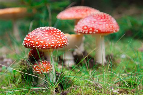 History Behind The Christmas Tree - 15 fascinating facts about mushrooms
