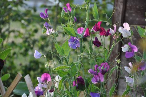 fiore piselli odorosi piccola antologia dei legumi 4 il pisello aspetti