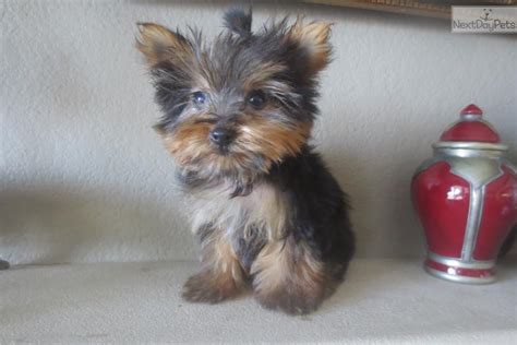 micro yorkie puppies for sale near me terrier yorkie puppy for sale near san diego california 88d08985 6ac1