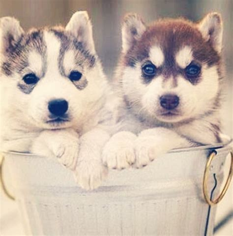 images of pomsky puppies pin pomsky puppies pictures on