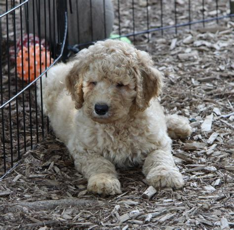 doodle puppies for sale in ontario labradoodle 5 puppies for sale dogs for sale in