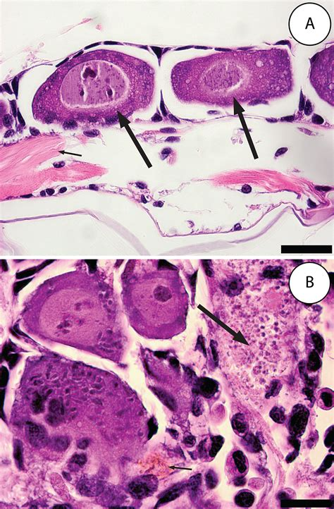 histological sections file list wikimedia commons