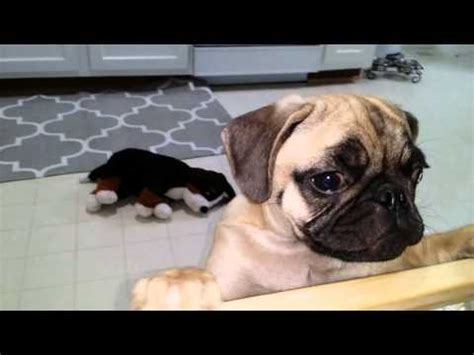 are pug puppies hyper guilty pug puppy zeus