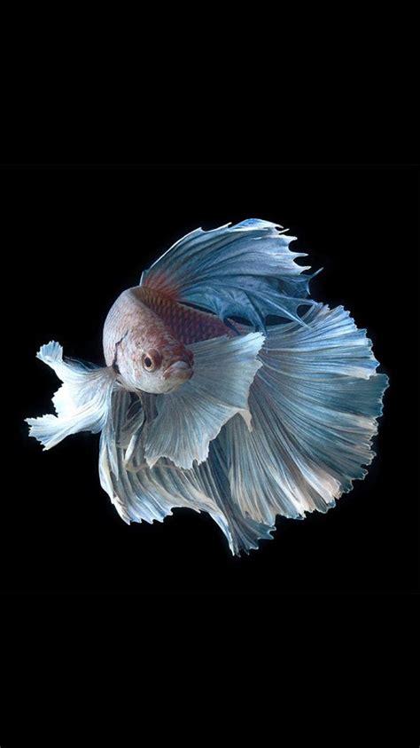 apple iphone  wallpaper  silver albino betta fish