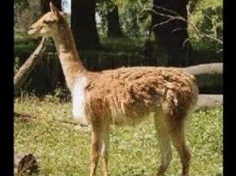 imagenes de encontrar animales ocultos bellos animales andinos micky gonzalez etnotronic 1