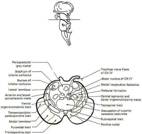 brainstem sections the brain stem