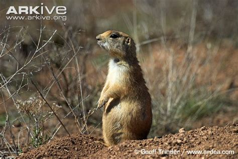 pictures of prairie dogs utah prairie photos and facts cynomys parvidens arkive