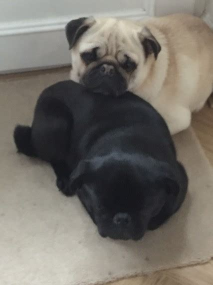 pugs manchester pugs 4 sale manchester greater manchester pets4homes
