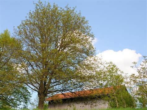 walnussbaum schneiden wann nussbaum schneiden nussbaum schneiden nussbaum schneiden