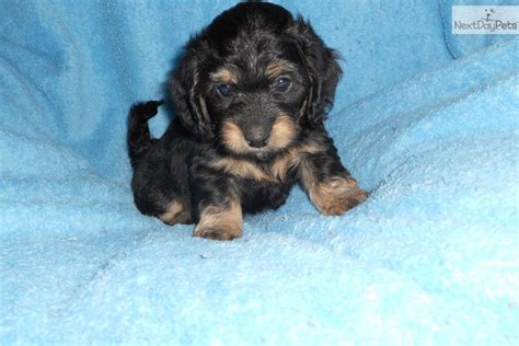 doxie doodle puppies for sale image gallery mini doxiepoo