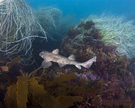 Requin Dormeur by Bio Marine Le Requin Dormeur Cornu