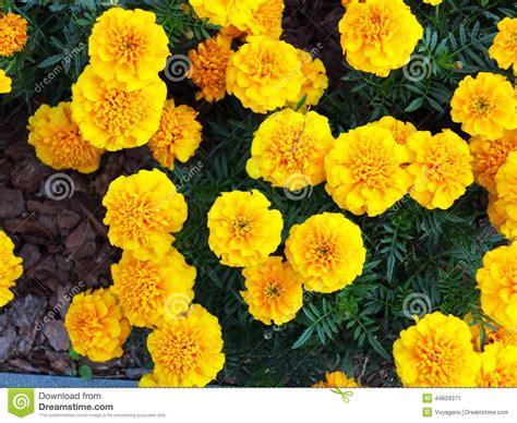 garten französisch gelbe blumen im garten ringelblume tagetes stockfoto