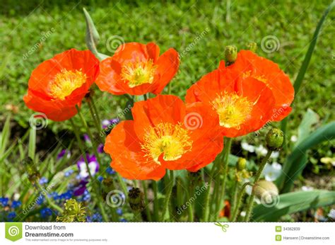 poppy flowers royalty free stock images image 34362839