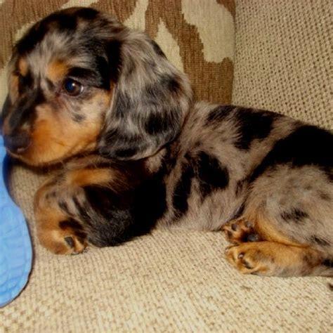 haired wiener haired dapple weiner puppy bowl