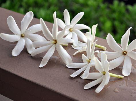 fiori di tiare erboristeria dell ortica tiare o meglio conosciuto