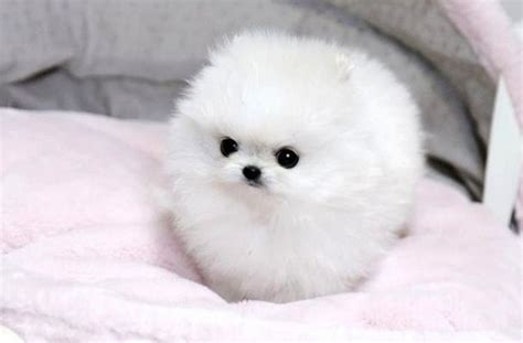 white fluffy teacup pomeranian puppies tag for puppy pomeranian white litle pups