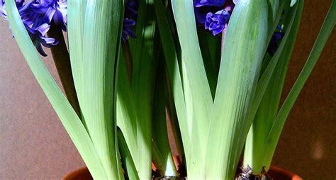 giacinti in vaso piantare i bulbi di giacinto bulbi piantare bulbi di