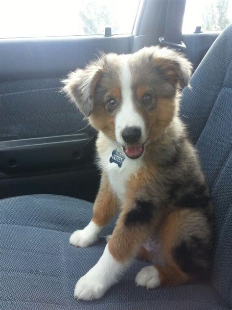mini australian puppies 17 best images about mini australian shepherd s on aussie puppies bernese
