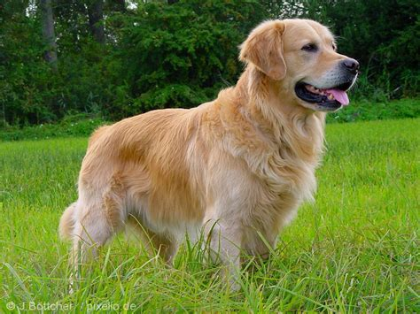 what breed is a golden retriever golden retriever pictures and informations breeds