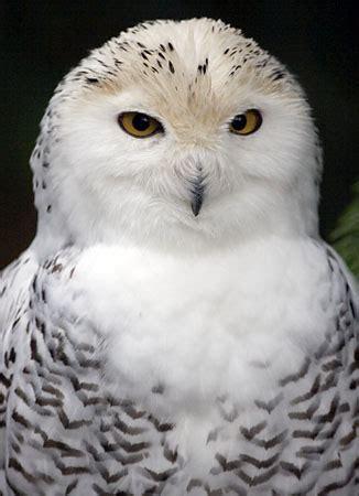 amazoncom snowy owl snowy owl owlkingdom